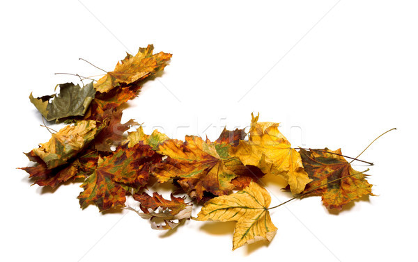 Autumn multicolor dry maple leafs Stock photo © BSANI