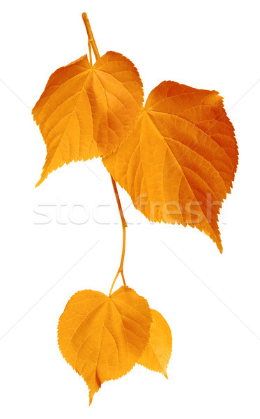Yellowed leaves on white background Stock photo © BSANI