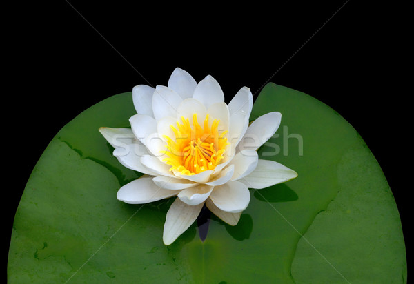 Victoria amazonica, water lily Stock photo © BSANI
