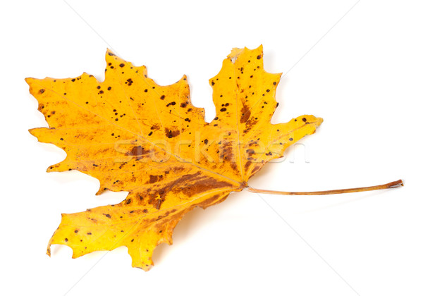 Speckled autumn leaf on white background Stock photo © BSANI