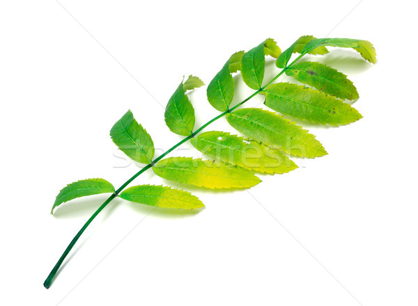 Multicolor rowan leaf on white Stock photo © BSANI