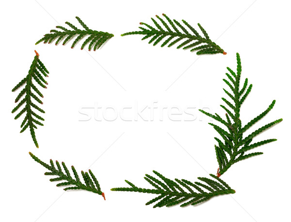 Thuja branchs on white with copy space Stock photo © BSANI
