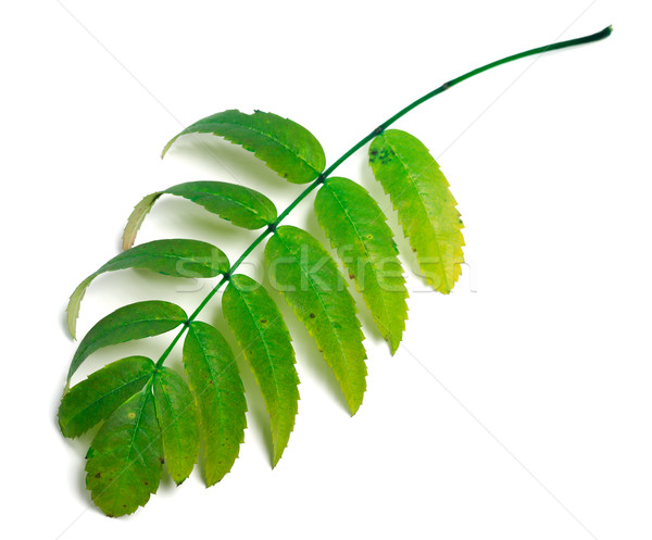 Green rowan leaves Stock photo © BSANI