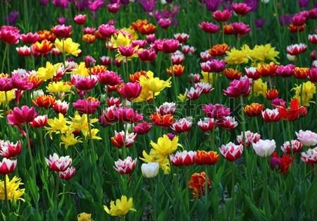 Multicolor tulips Stock photo © BSANI