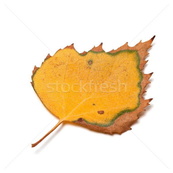 Dried autumn leaf of birch on white background Stock photo © BSANI