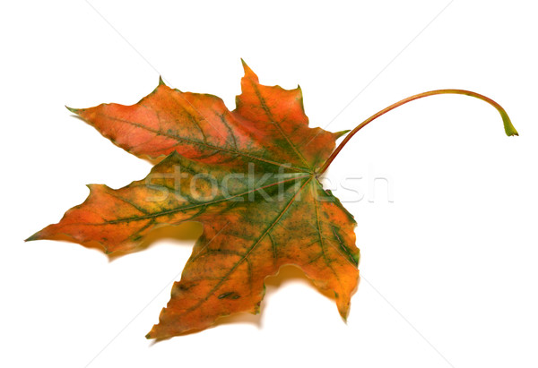 Sonbahar yalıtılmış beyaz orman yeşil stüdyo Stok fotoğraf © BSANI