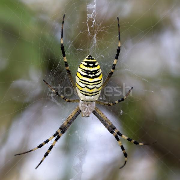 Araignée toile d'araignée guêpe nature vert jambes Photo stock © BSANI