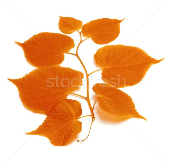 Autumnal tilia leafs  Stock photo © BSANI