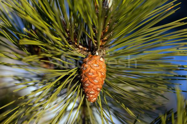 Pine cone. Close-up view. Stock photo © BSANI