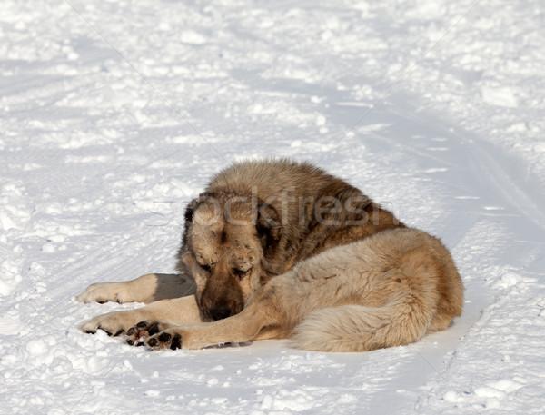 Dog sleeping on ski slope Stock photo © BSANI
