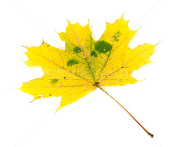 Yellowed autumn maple-leaf Stock photo © BSANI