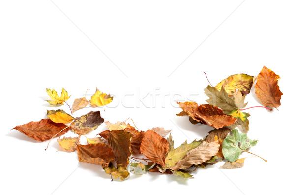 Autumn dry maple leafs on white background Stock photo © BSANI