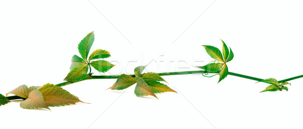 Yellowed twig of grapes leaves on white background Stock photo © BSANI