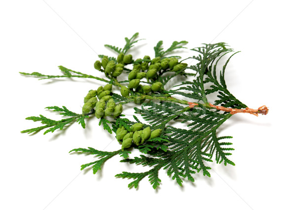 Green twig of thuja with cones Stock photo © BSANI
