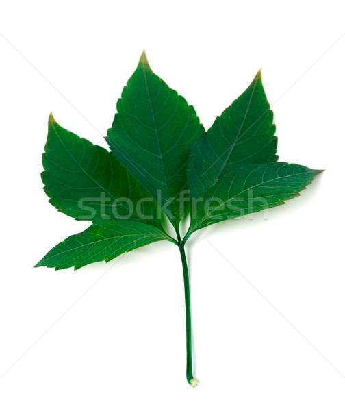 зеленый Виргиния лист листва изолированный белый Сток-фото © BSANI