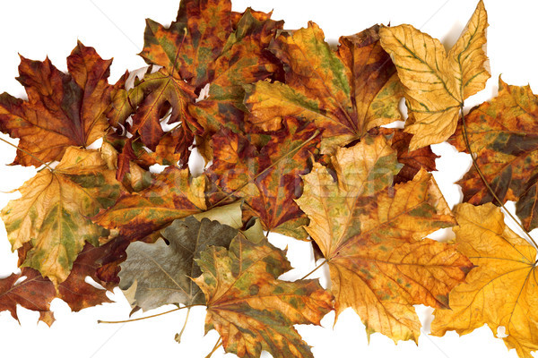 Autumn dried maple leafs Stock photo © BSANI