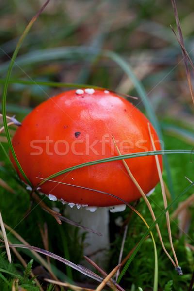 Amanita muscaria mushroom in grass Stock photo © BSANI