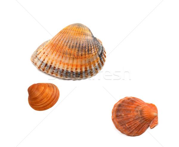 Seashells on white background Stock photo © BSANI