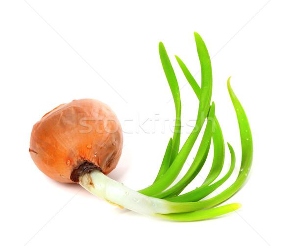 Stock photo: Sprouting onion on white background