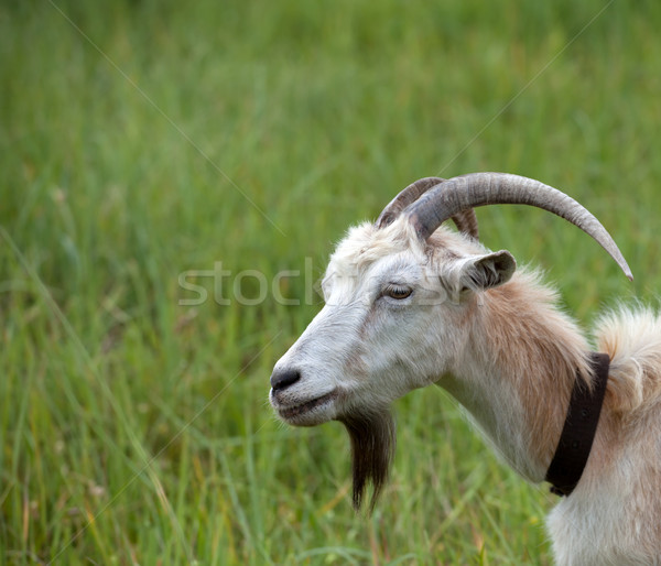 Head of a goat  Stock photo © BSANI