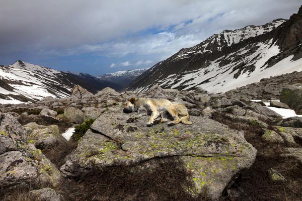 犬 寝 ビッグ 石 山 トルコ ストックフォト © BSANI