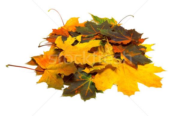 Pile of autumn dried multi colored maple leaves Stock photo © BSANI