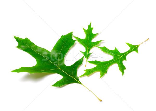 Green leafs of oak (Quercus palustris)  Stock photo © BSANI