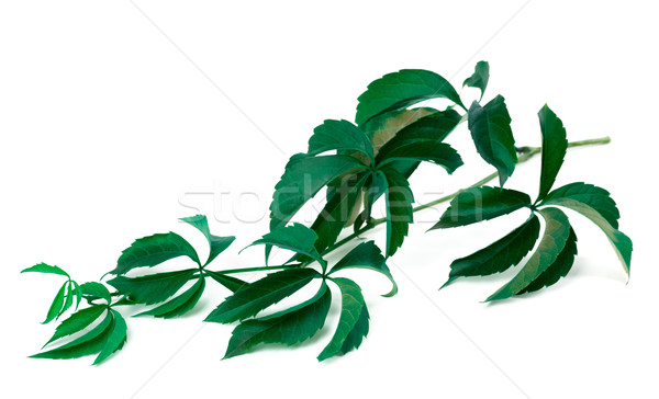 Branch of green grapes leaves Stock photo © BSANI
