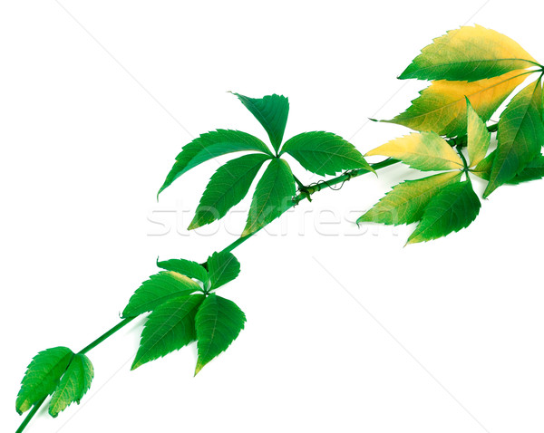 Green yellowed sprig of grapes leaves Stock photo © BSANI