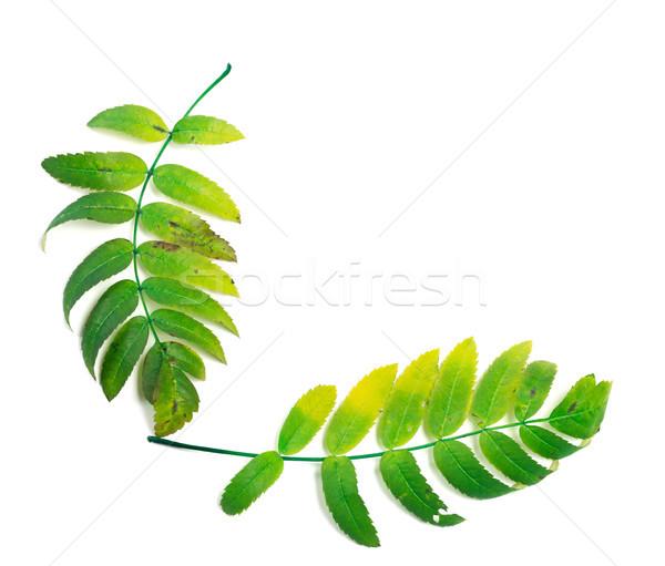 Rowan leaf isolated on white background Stock photo © BSANI
