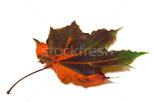Multi colored autumnal maple-leaf Stock photo © BSANI