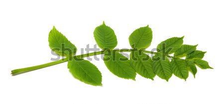 Stock photo: Spring rowan leaves