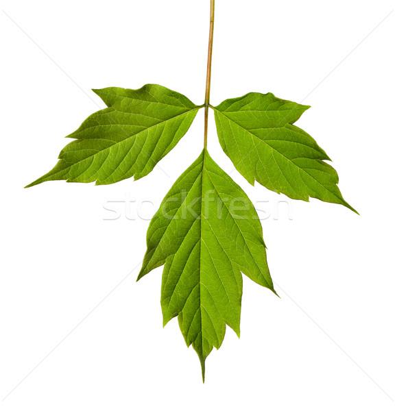 Green acer negundo leaf Stock photo © BSANI