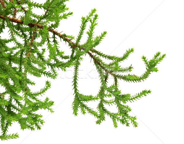 Branch of decorative home Christmas-tree Stock photo © BSANI