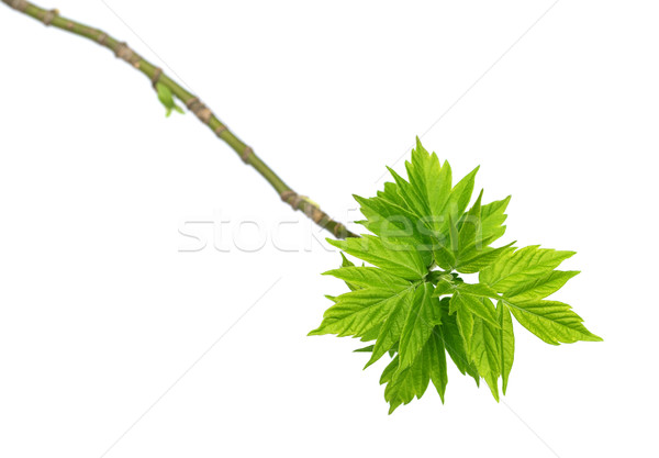 Spring twigs of maple ash with young green leaves Stock photo © BSANI