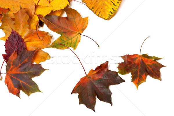 Sonbahar akçaağaç yaprakları yalıtılmış beyaz Stok fotoğraf © BSANI