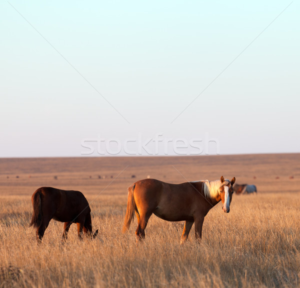 Two horses grazing in evening pasture Stock photo © BSANI