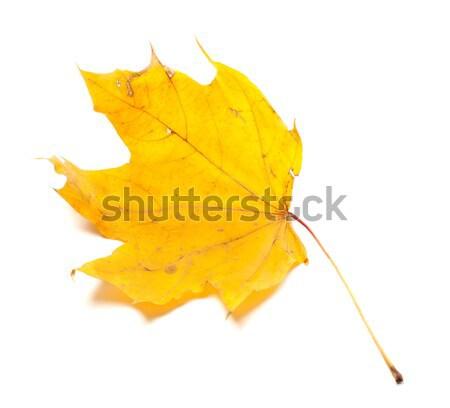Autumn yellowed maple leaf Stock photo © BSANI