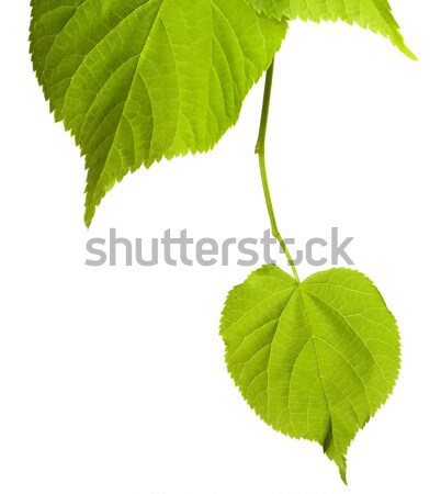 Spring tilia leafs isolated on white Stock photo © BSANI