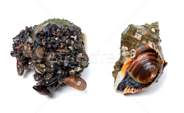 Veined rapa whelk covered with small mussels Stock photo © BSANI