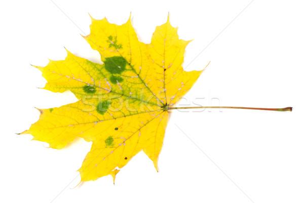 Jaune automne isolé blanche arbre forêt Photo stock © BSANI