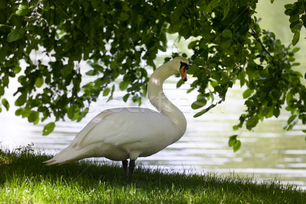 Dempen zwaan glade boom natuur schoonheid Stockfoto © BSANI