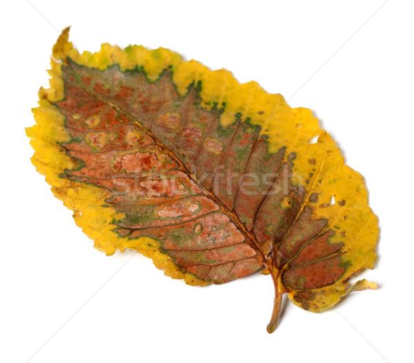 Dry autumn leaf  Stock photo © BSANI
