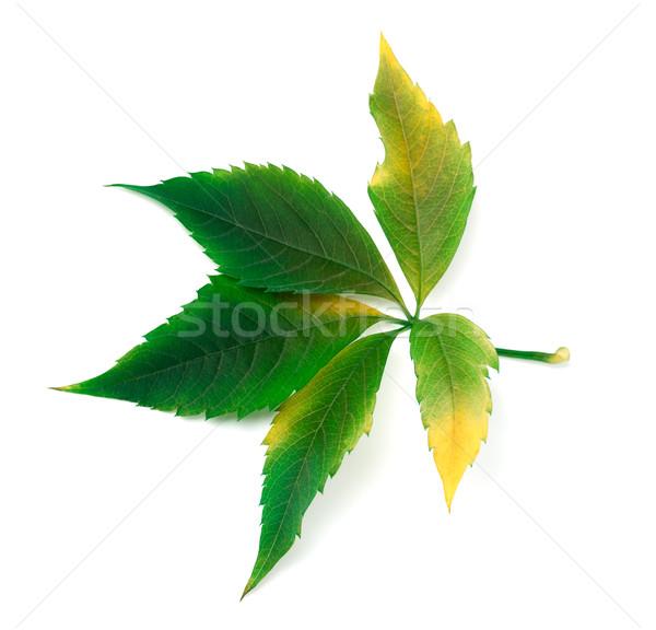 Yellowed grapes leaf Stock photo © BSANI