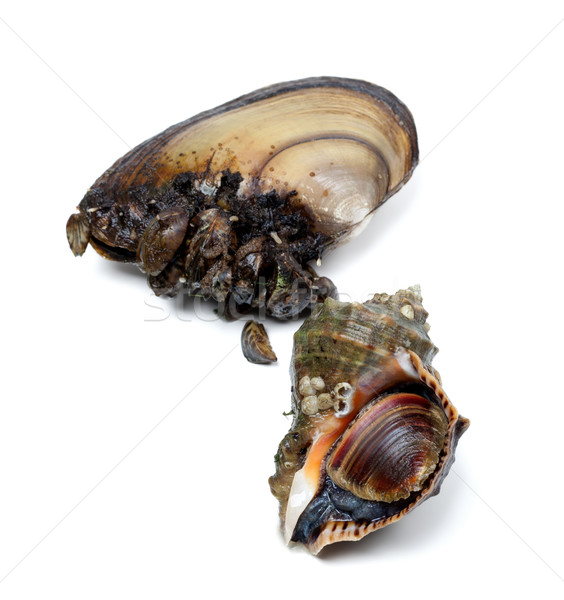 Veined rapa whelk and anodonta (river mussels) Stock photo © BSANI
