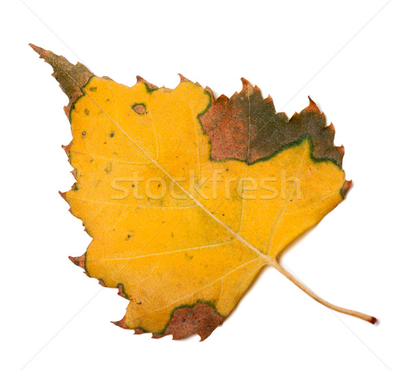 Yellowed autumn leaf of birch Stock photo © BSANI