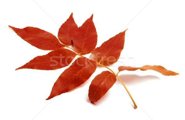 Kırmızı sonbahar yaprak beyaz yalıtılmış doğa Stok fotoğraf © BSANI