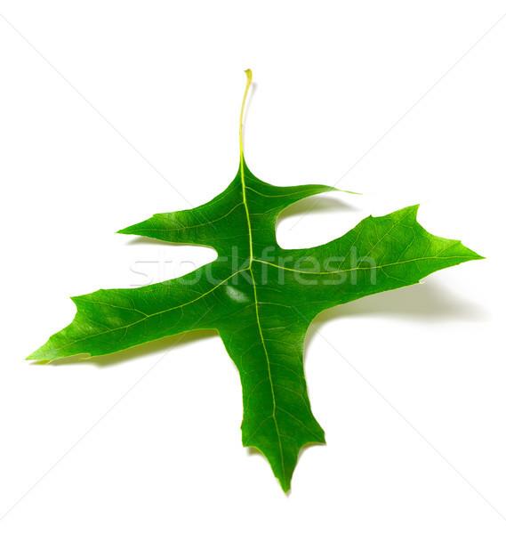 Green oak leaf (Quercus palustris) Stock photo © BSANI