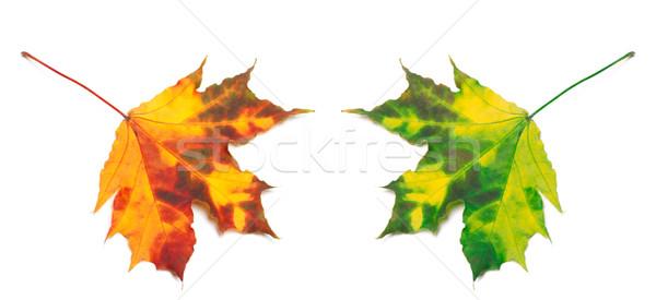 Orange and green yellowed maple-leafs Stock photo © BSANI