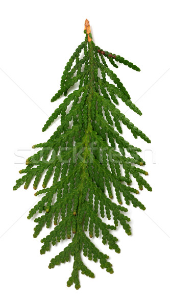 Close-up view of thuja branch Stock photo © BSANI